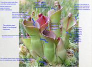 Katie B and Mia R Pitcher Plant's thumbnail
