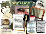 Cheese Skipper Fly's thumbnail