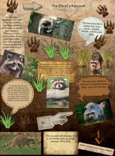 The life of a Raccoon