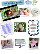 The Capuchin Monkey-- Jessica 's thumbnail